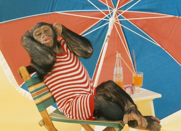 funny-chimp-on-a-beach
