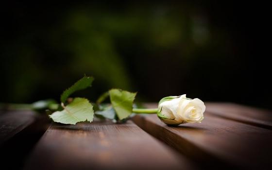 6993914-white-rose